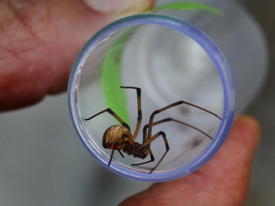 A plastic tube containing a brown widow spider.