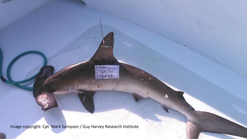 Smooth hammerhead with tag