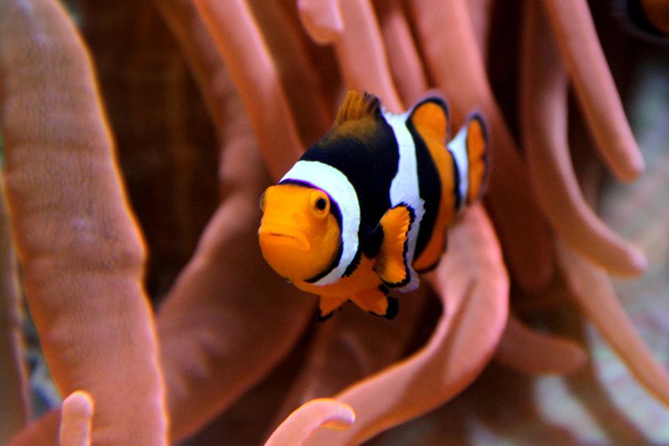 Clownfish looking back at the camera