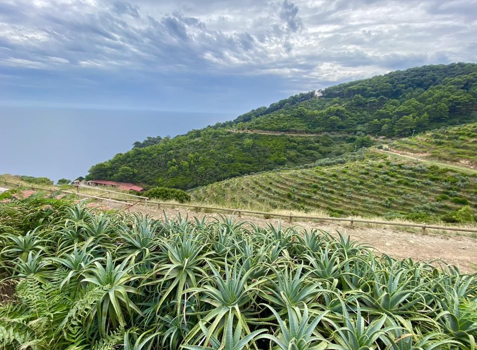 Gorgona Island vines and vegetation