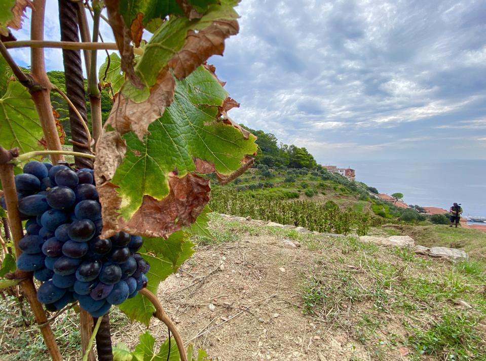 Sangiovese grapes, Gorgona Island