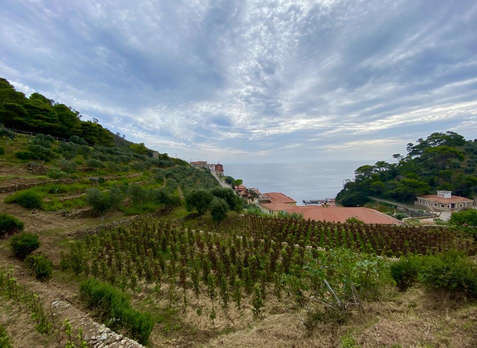 Gorgona vines and Ligurian Sea