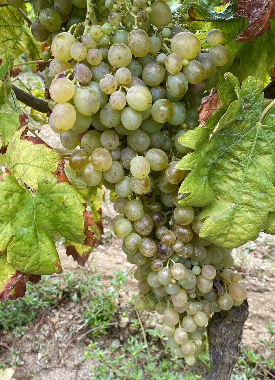 Vermentino grapes on Gorgona Island