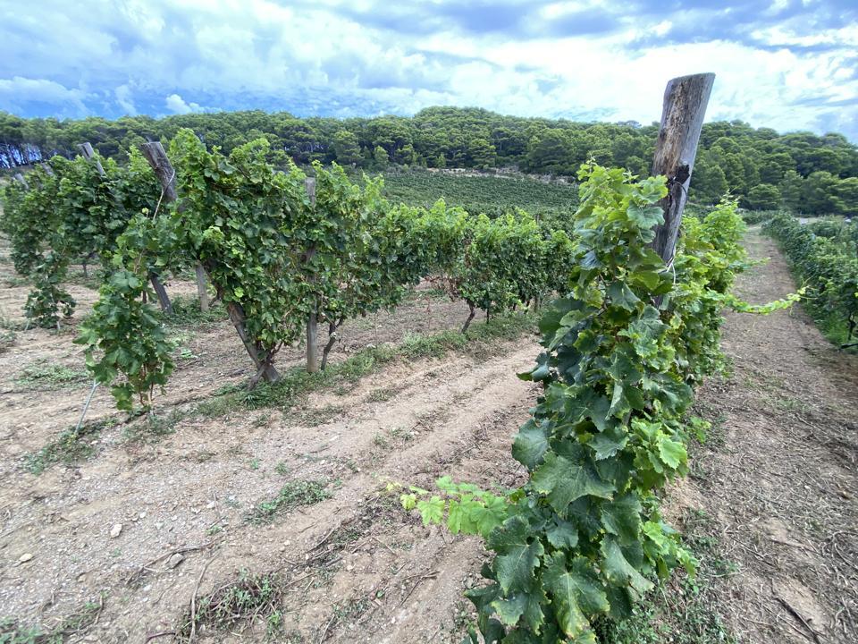 Gorgona vines protected by pine trees