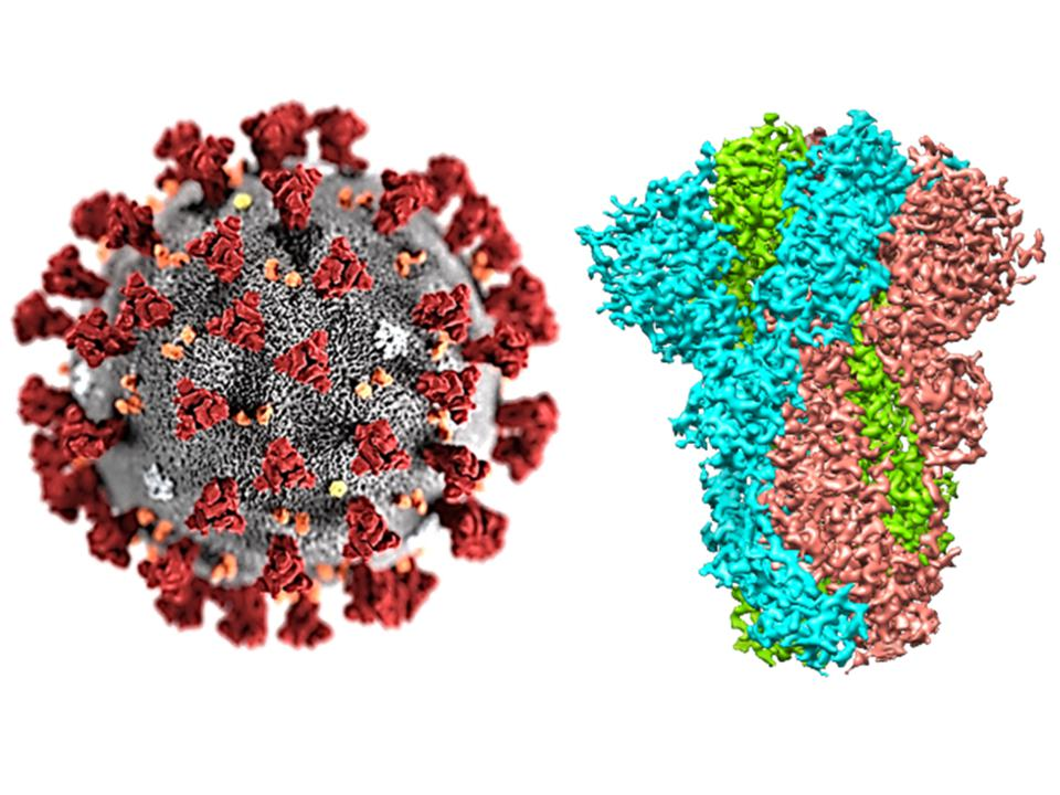 SARS-Cov-2's spike proteins in red (left), and an electron cryo-microscopy image of its structure.