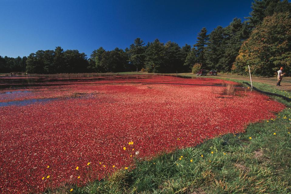Flooded bog for harvesting cranberries.