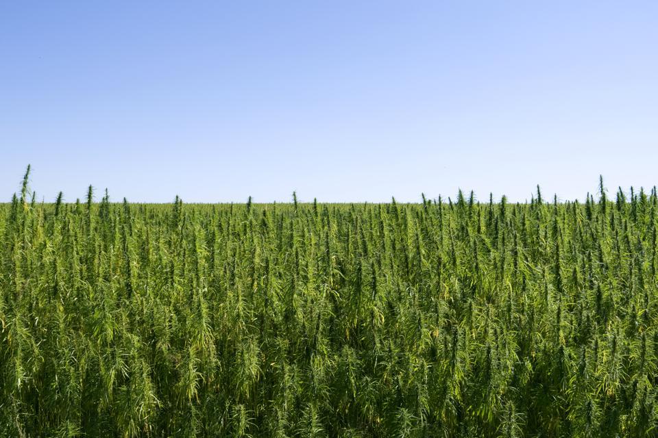 Plants: Industrial hemp