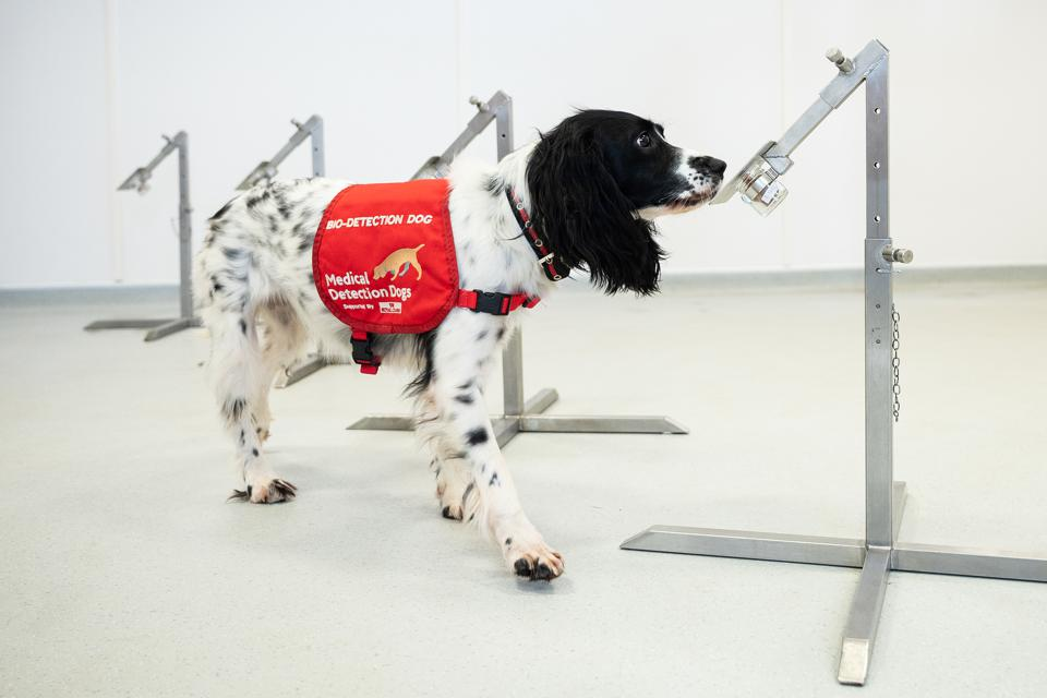 Medical Detection Dogs  Being Re-trained To Help Identify Covid-19