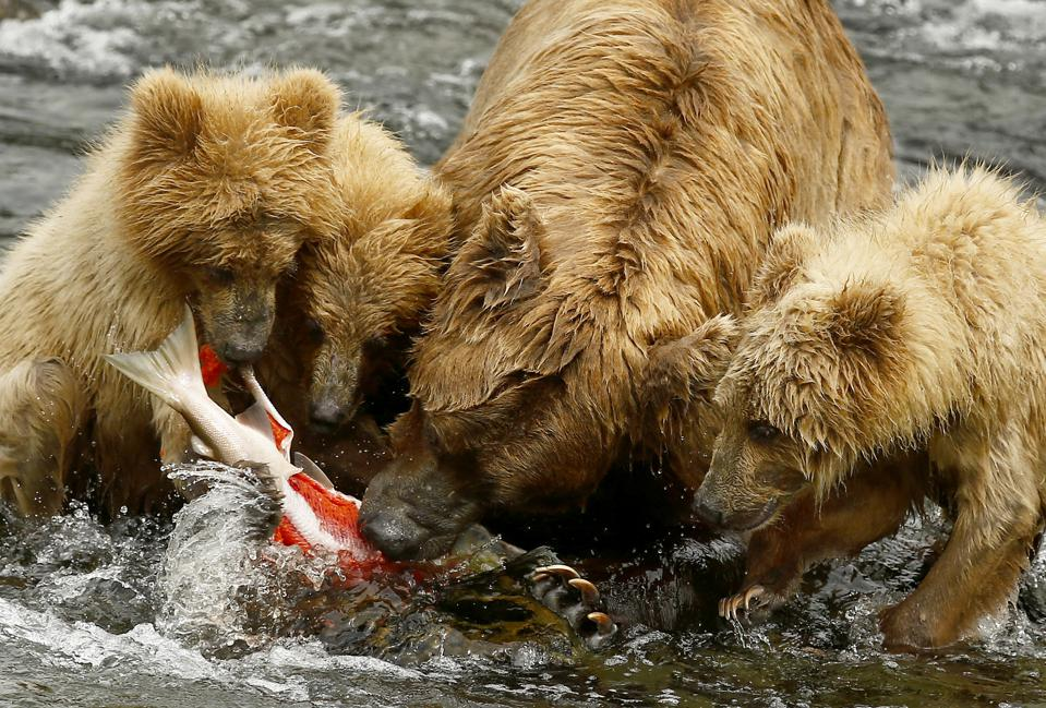 A bear and her three cubs eat a sockeye salmon at Brooks Falls in Alaska's Katmai National Park.