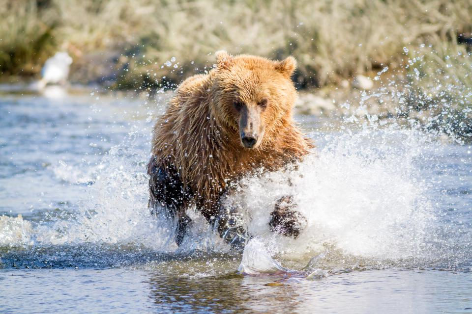 Fishing For Salmon With Alaskas Brown Bears