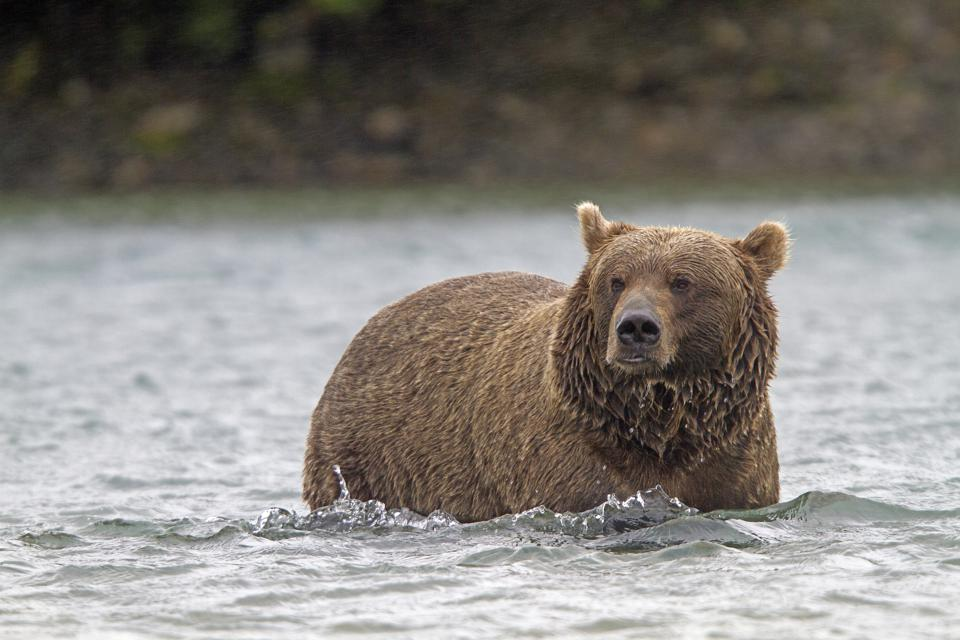 Grizzly bear in Katmai National Park and Preserve.