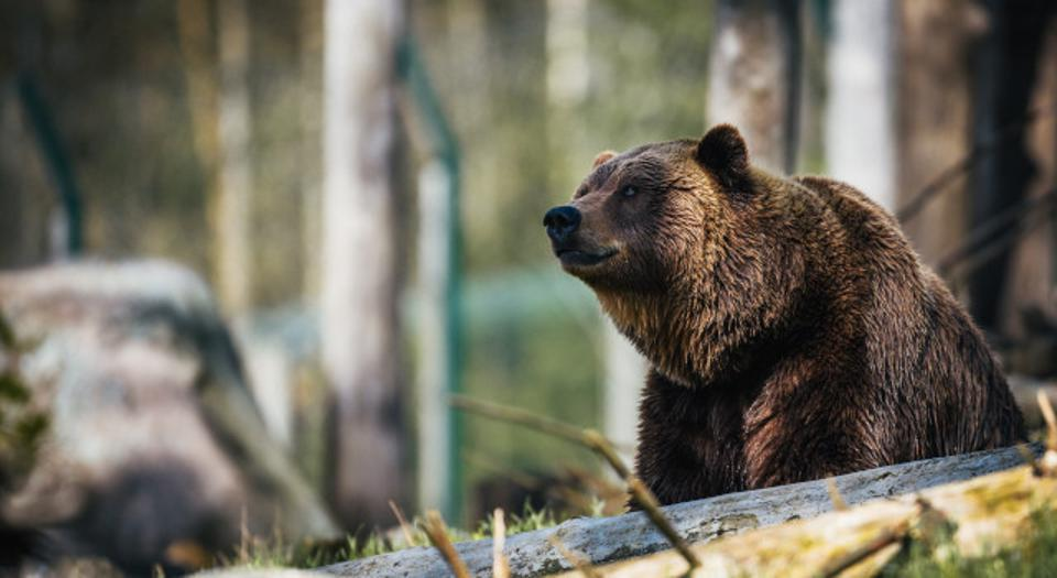 American brown bear in woods