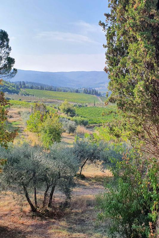 olive trees and vineyards in the vineyard of Renoz Marina Chianti Classico Tuscany Panzano