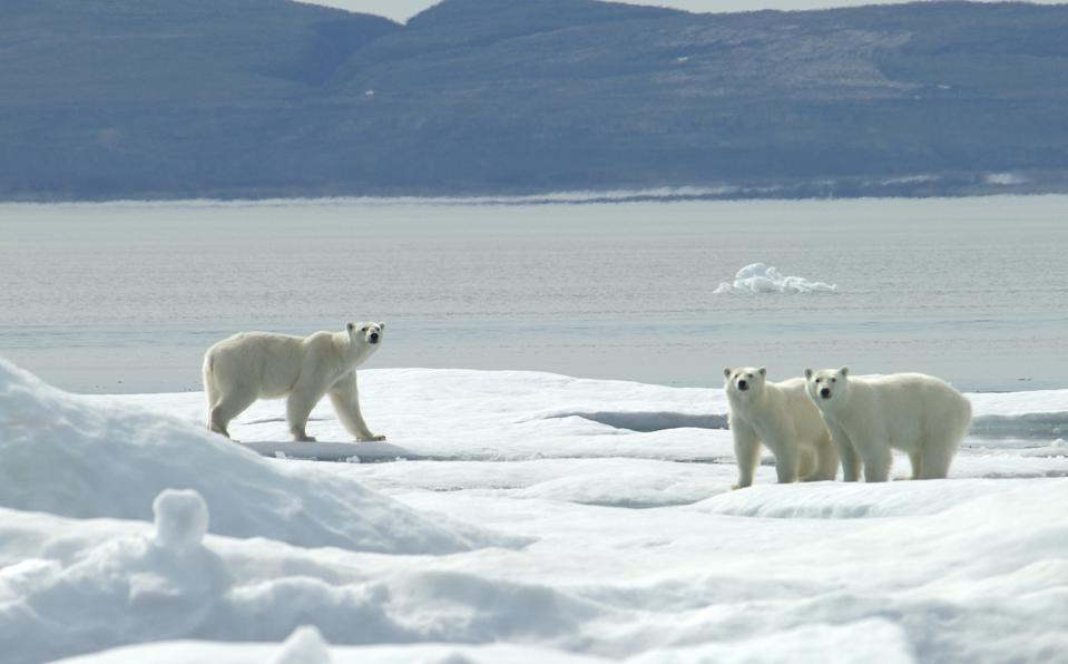 A mother polar bear and cubs walk on ice flows in Wager Bay, near Manitoba in Canada.