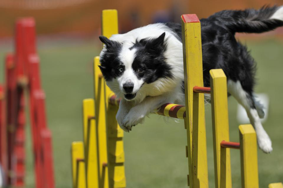 Proud dog jumping over obstacle demonstrating need for agility