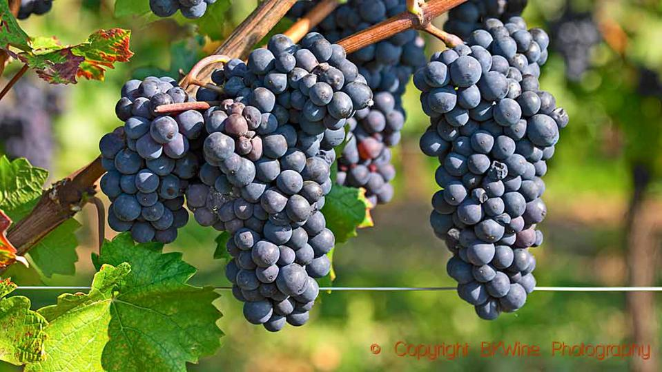 Pinot noir bunches on the vine just before harvest in Burgundy