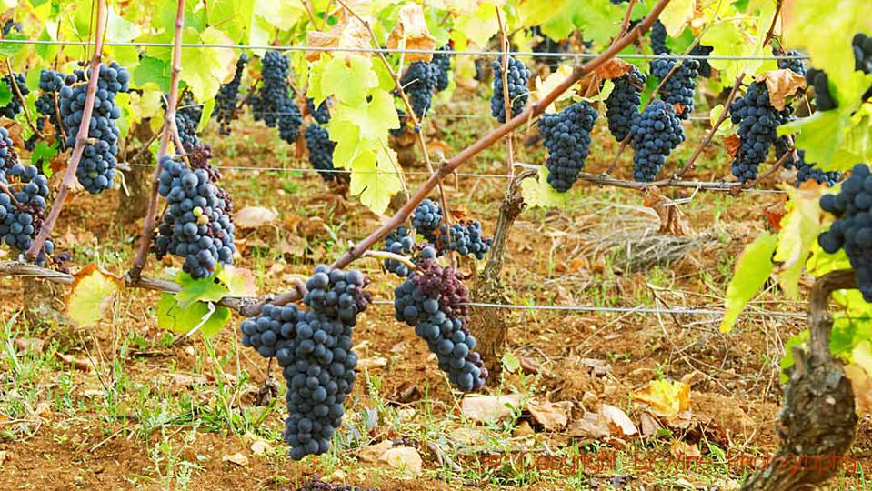 Pinot noir grape bunches in a vineyard in Burgundy just before harvest