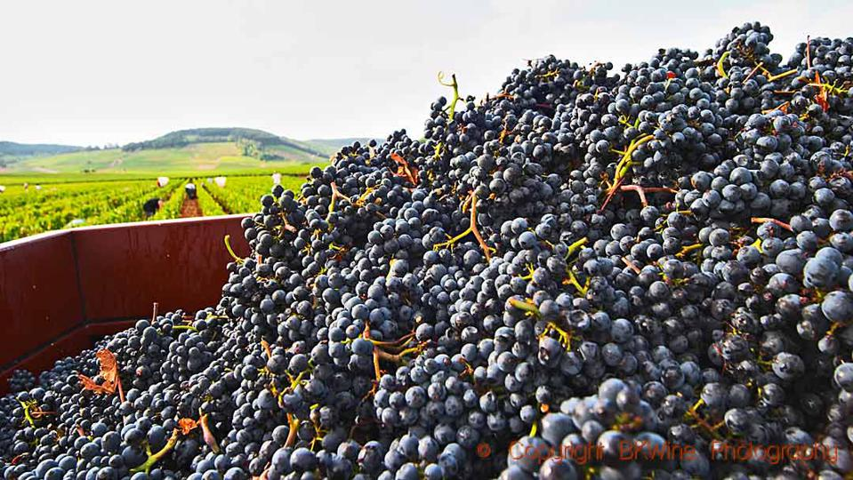 Pinot noir grapes just harvested in a vineyard in Pommard in Burgundy