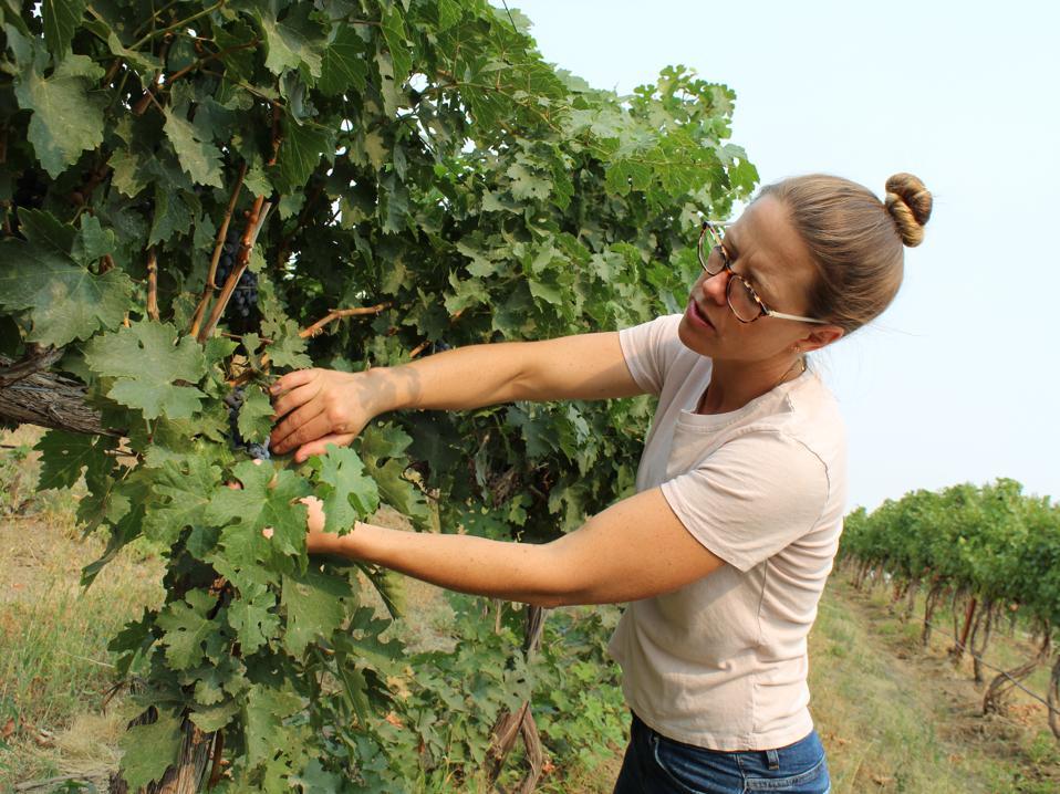 winemaker in vineyard, Walla Walla