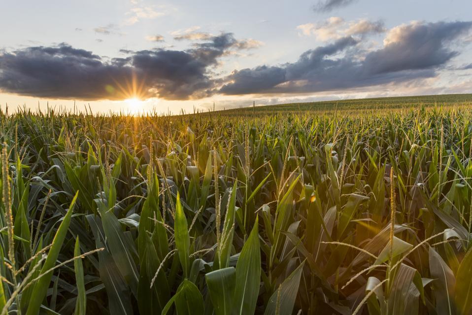 Sunset over the cornfields
