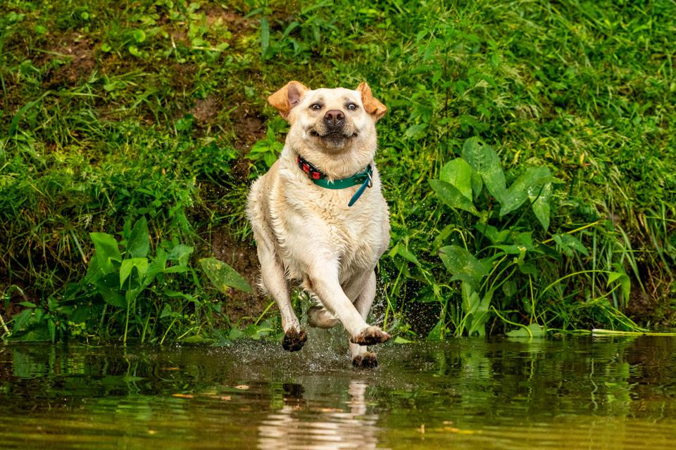 Comedy pet photo award: a happy dog  that seems to be walking on water.