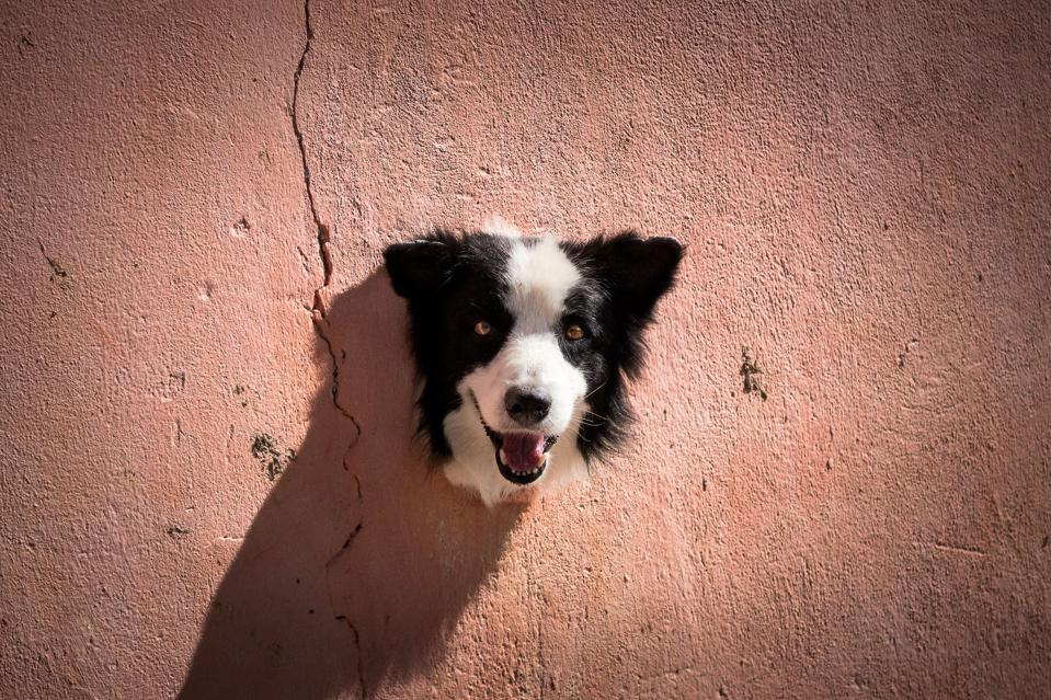 border collie dog puts head through a hole in the wall