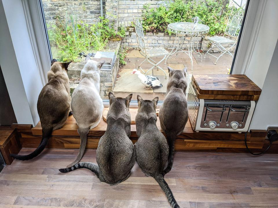 Five tonkinese cats watching their ″dinner″ walk past the kitchen window.