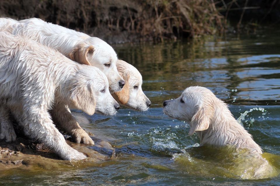 Four golden retriever puppies near water