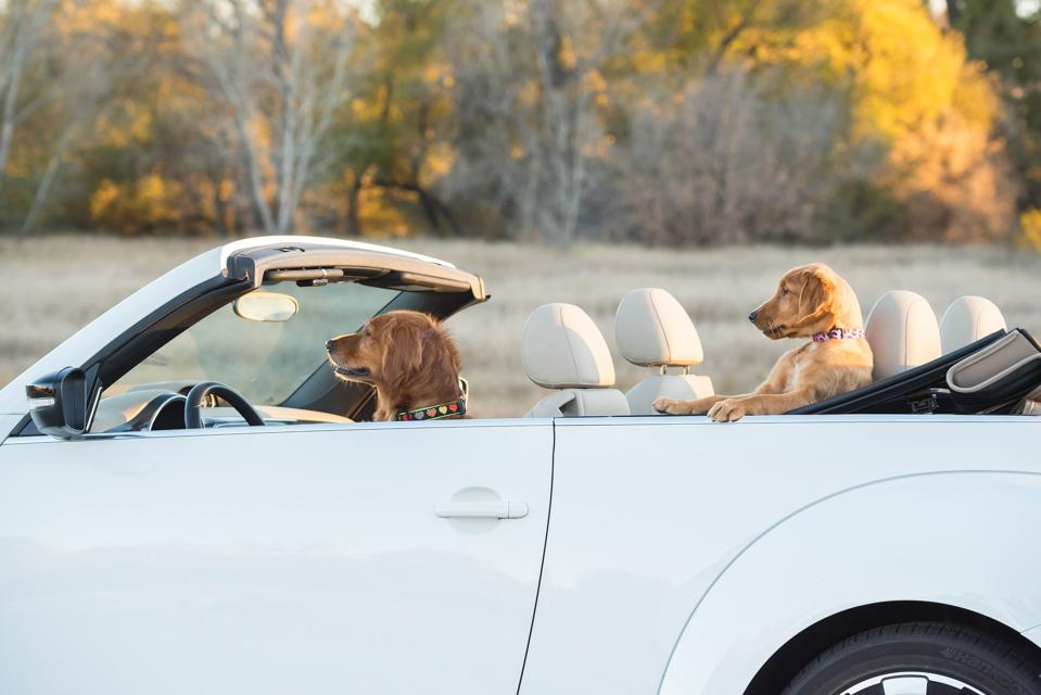Comedy pets photo award: dog driving a car with  poppy as passenger.