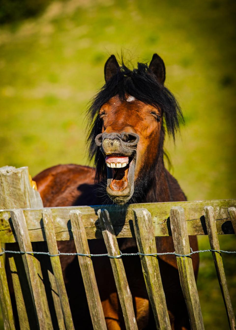 A horse showing its teeth in an equine smile