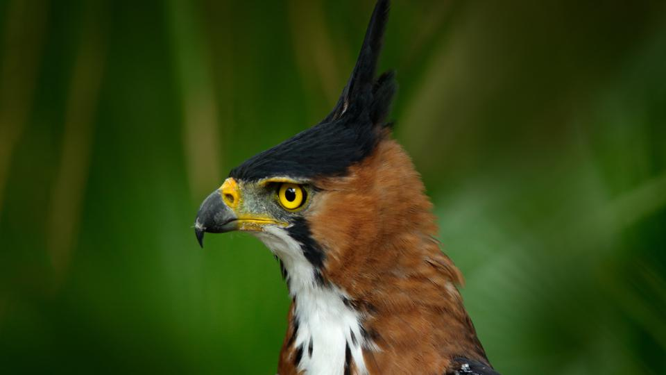 Ornate Hawk-eagle, Spizaetus ornatus,