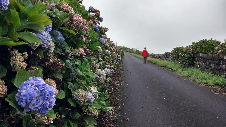 There are hydrangeas everywhere in Terceira, in the Azores islands of Portugal