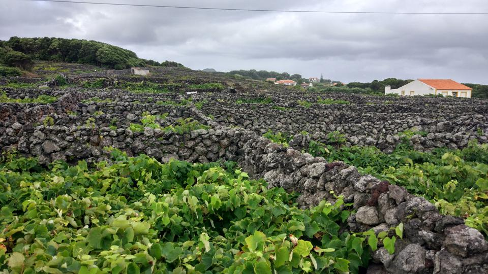 The vineyards in Terceira, Azores, Portugal are organized in the traditional way