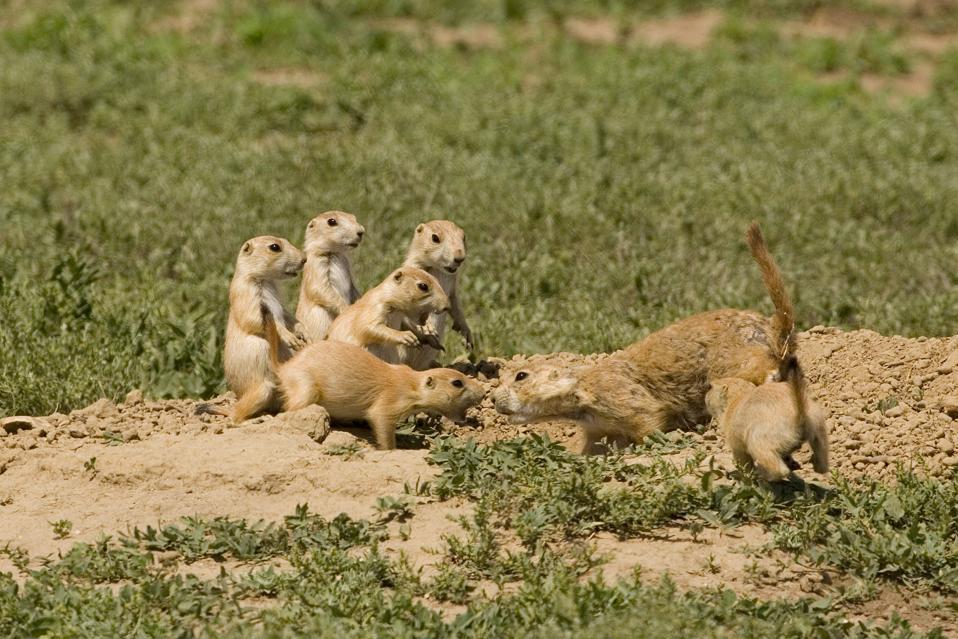 prairie dogs interacting in montana