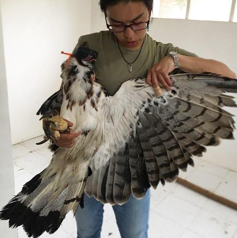 Ana María Morales Cañizares assessing a juvenile black-and-chestnut eagle