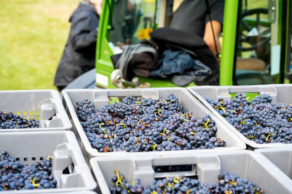 Pinot Noir grapes in crates