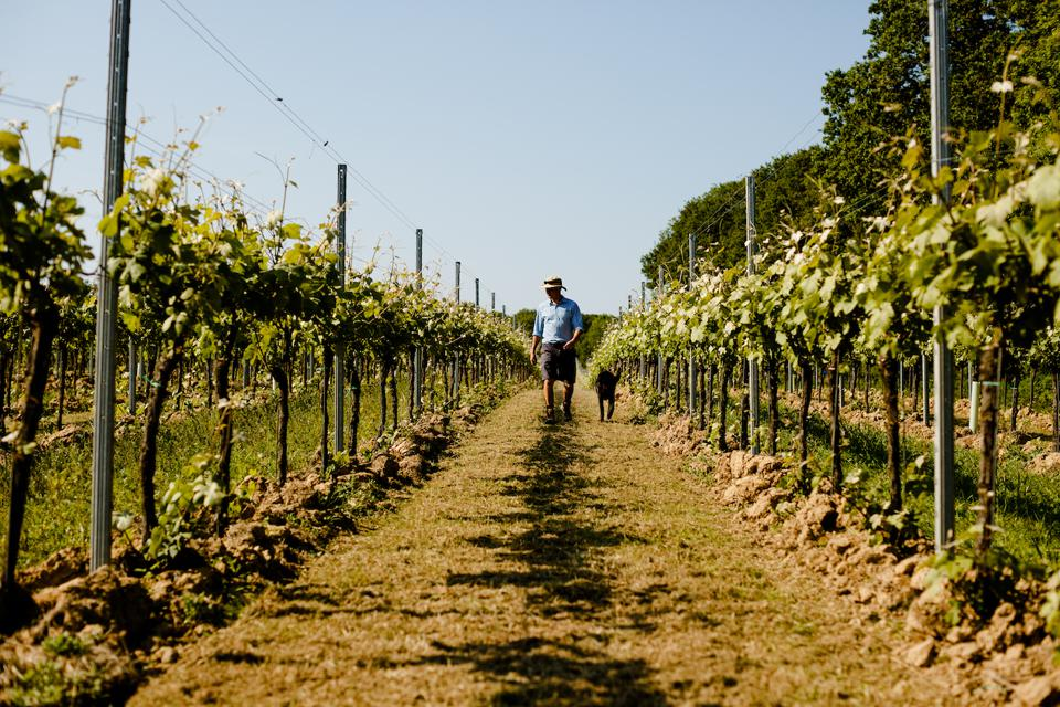 Inspecting the vines at Gusbourne vineyard in Kent.