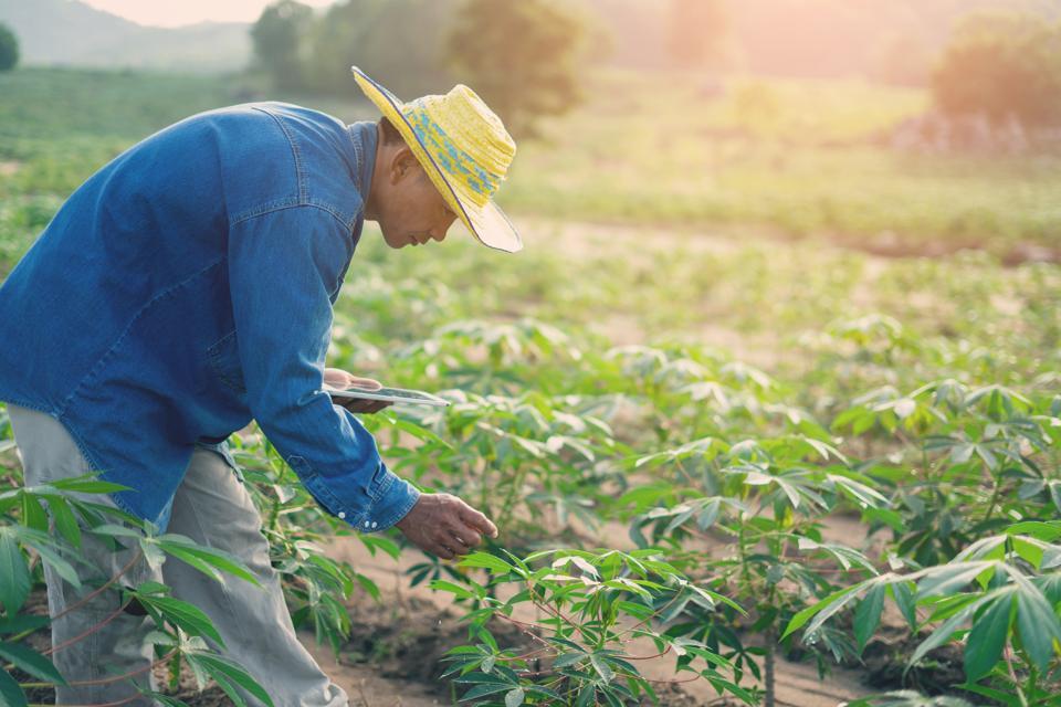 Farmer using technology to inspect his cassava crop.