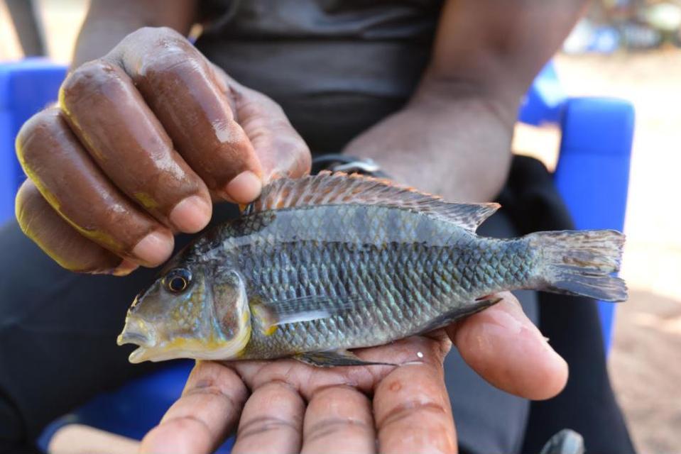 Fishermen holding a male cichlid fish at Mpimbwe, Lake Tanganyika