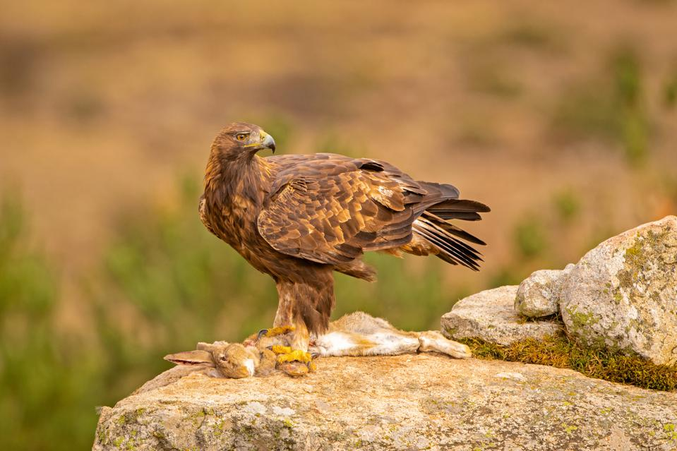 A golden eagle (predator with good eyesight) and dead rabbit (prey with bad camouflage).