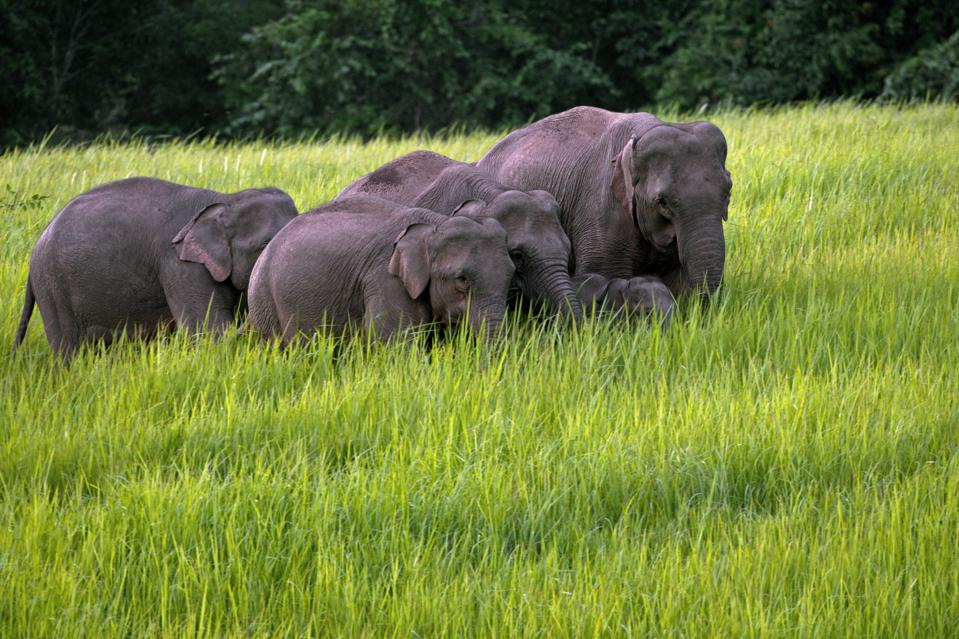 Asian elephant (Elephas maximus) herd with calves foraging in grassland