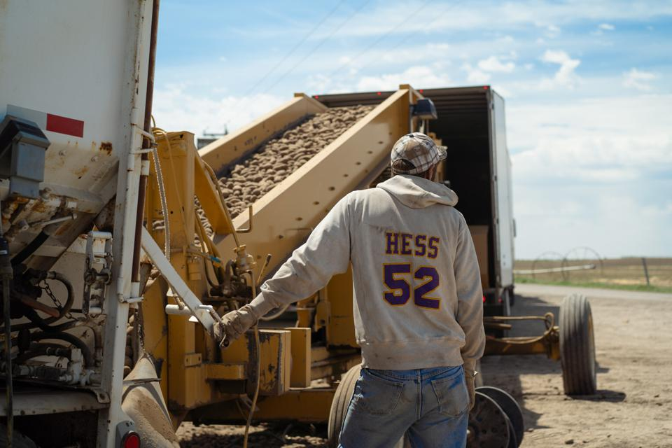 A man operates a truck filled with surplus potatoes.