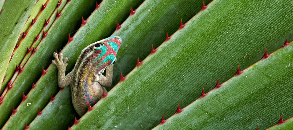 Mauritius Day Gecko