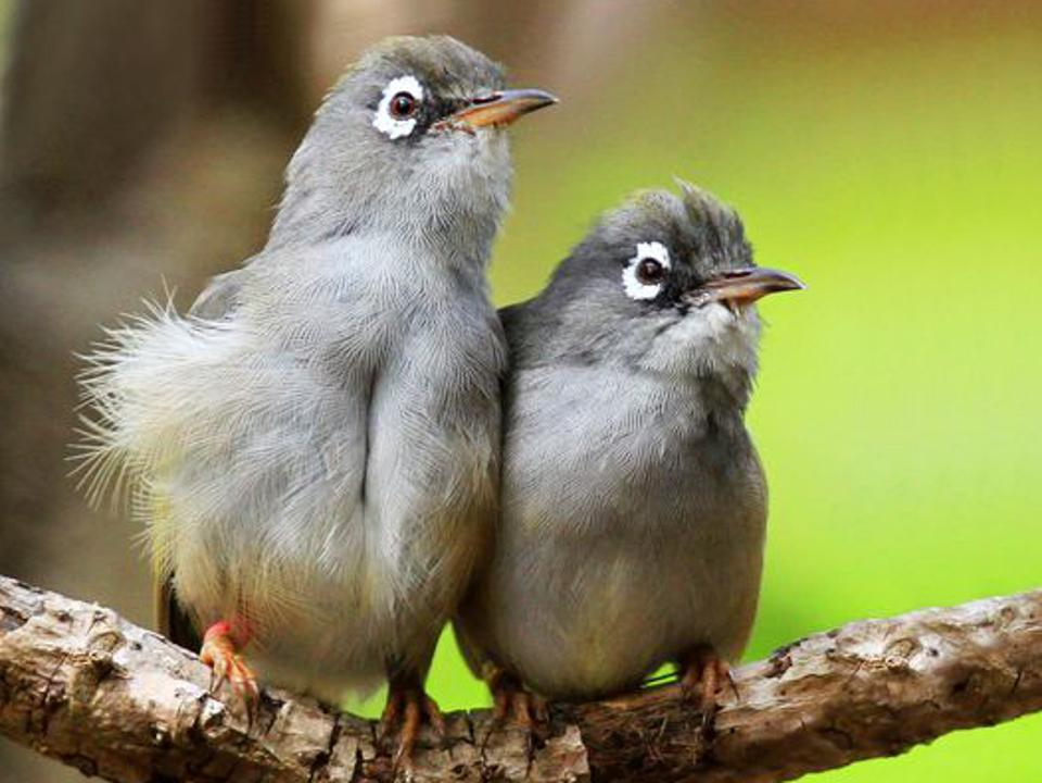 Olive White-eyes (oiseau a lunettes)