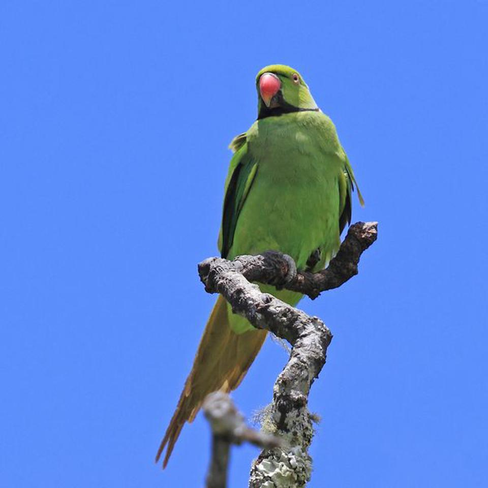 The Mauritius Echo Parakeet