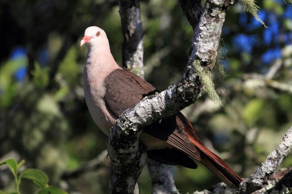 The Mauritius Pink Pigeon (Nesoenas Mayor)