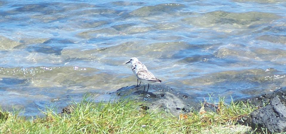 Sanderling seen in Le Bouchon next to Ile aux Aigrettes in May 2020