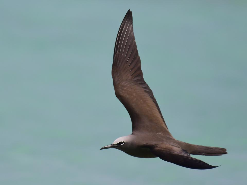 Brown Noddy (referred to as Common Noddy in Mauritius). Scientific name Anous stolidus.