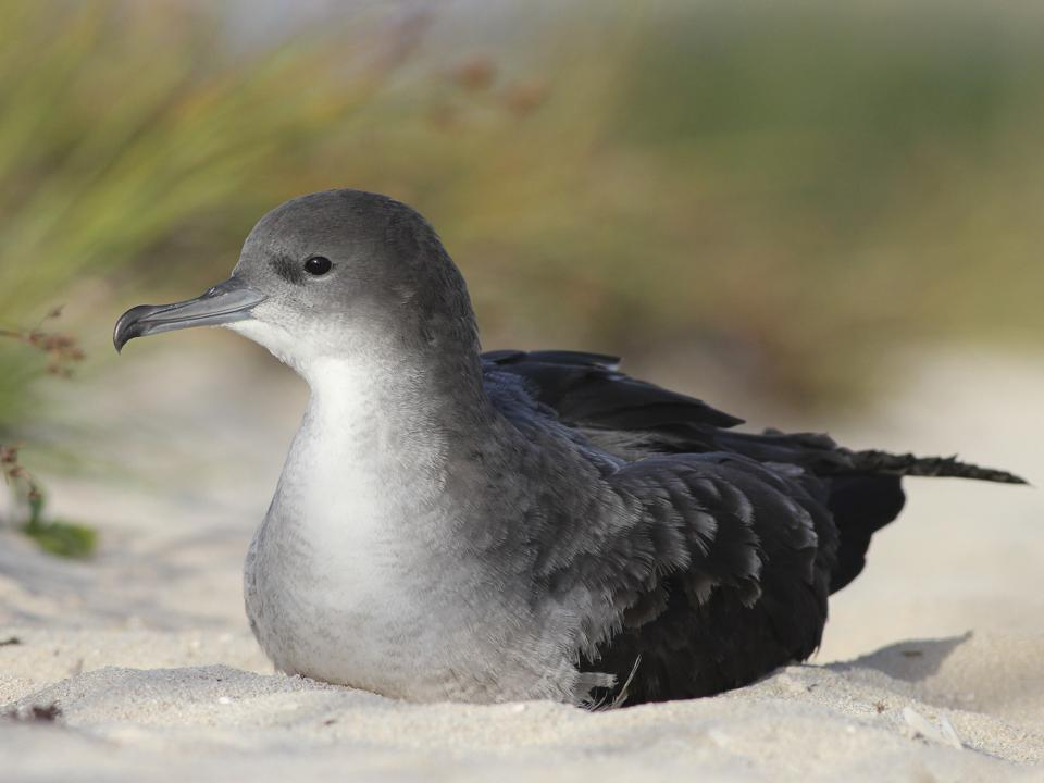 Wedge-tailed Shearwater (scientific name Ardenna pacifica)