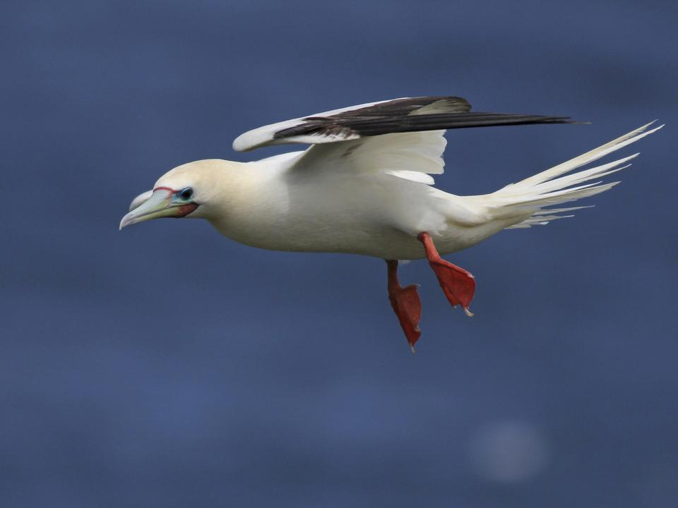 Red-footed Booby (scientific name Sula sula)
